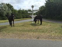 3 cavalli grigi, marroni e neri selvaggi nella nuova foresta Immagine Stock Libera da Diritti