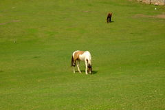 cavalli in Groenlandia Fotografie Stock Libere da Diritti