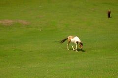 cavalli in Groenlandia Immagine Stock
