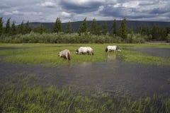 Cavalli iacuti Fotografie Stock