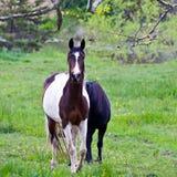 Cavalli il giorno nuvoloso Fotografia Stock