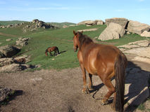 Cavalli incinti Fotografia Stock