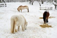 Cavalli in inverno Fotografia Stock Libera da Diritti