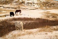 Cavalli in inverno Fotografie Stock Libere da Diritti