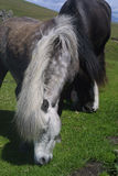 Cavalli irlandesi Immagini Stock Libere da Diritti