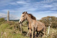 Cavalli irlandesi e torre rotonda antica Immagine Stock