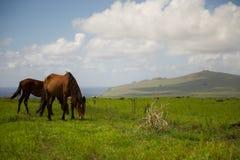 Cavalli Isla de Pascua Rapa Nui Isola di pasqua Threesome Immagine Stock