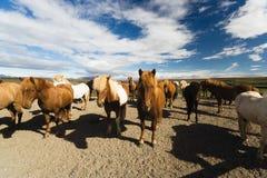 Cavalli islandesi fotografie stock