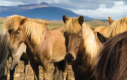 Cavalli islandesi Fotografia Stock Libera da Diritti