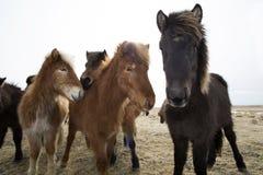Cavalli islandesi curiosi Immagini Stock Libere da Diritti