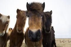 Cavalli islandesi curiosi Immagine Stock