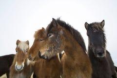 Cavalli islandesi curiosi Immagini Stock