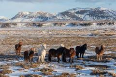 Cavalli islandesi Il cavallo islandese ? una razza del cavallo sviluppata in Islanda Un gruppo di cavallini islandesi nel pascolo immagini stock