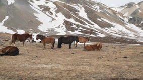 Cavalli islandesi in primo piano di inverno stock footage