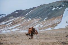 cavalli islandesi stupefacenti sul pascolo con le colline innevate dietro, immagini stock