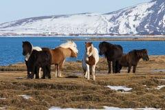 Cavalli islandesi sul campo di vetro asciutto Fotografie Stock
