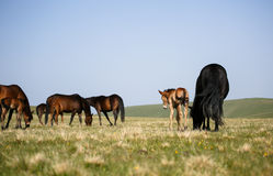 Cavalli liberi Immagine Stock