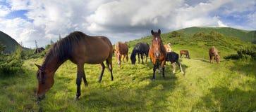 Cavalli liberi dell'alpeggio Fotografie Stock