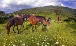 Cavalli liberi dell'alpeggio Immagini Stock
