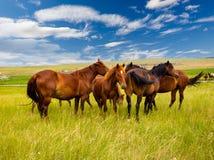 Cavalli liberi nella steppa fotografia stock libera da diritti