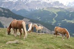 Cavalli liberi sul moutain Fotografie Stock Libere da Diritti