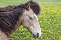 Cavalli lungo i campi dell'Islanda immagini stock libere da diritti