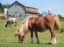 Cavalli miniatura su un'azienda agricola Fotografia Stock Libera da Diritti