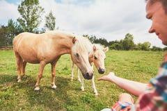 Cavalli miniatura sul pascolo Fotografie Stock