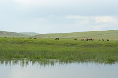 Cavalli mongoli Immagine Stock Libera da Diritti