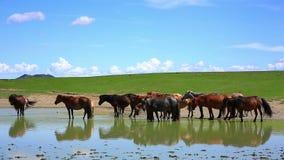 cavalli mongoli in vasto pascolo, Mongolia archivi video