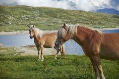 Cavalli in montagna Fotografia Stock