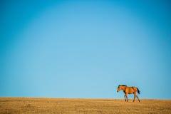 Cavalli in montagne di Kirgiz Fotografie Stock