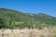 Cavalli in natura Fotografie Stock Libere da Diritti