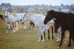 Cavalli in natura il giorno caldo soleggiato immagini stock