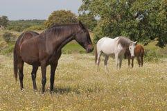 Cavalli nei pascoli in pieno delle querce Giorno di molla soleggiato in Estremadura, la Spagna Immagine Stock