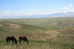 Cavalli nei prati Alatau trans--Ili Fotografie Stock Libere da Diritti