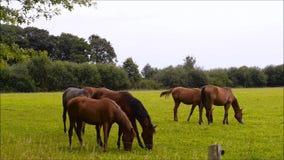 Cavalli nel campo stock footage