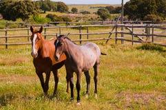 Cavalli nel campo dell'azienda agricola Cavalli di razza spagnoli Immagine Stock