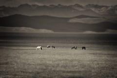 Cavalli nel Kirghizistan vicino al lago Kol di canzone fotografia stock