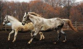 Cavalli nel moto fotografia stock