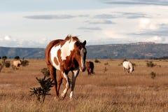 Cavalli nel New Mexico sulla prateria fotografia stock libera da diritti