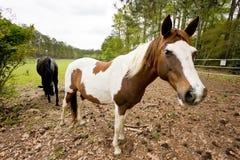 Cavalli nel pascolo Fotografie Stock