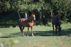 Cavalli nel pascolo rurale dell'azienda agricola Fotografia Stock