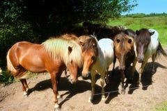 Cavalli nel prato Fotografia Stock