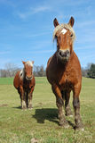 Cavalli nel prato Immagini Stock Libere da Diritti