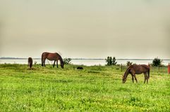 Cavalli nel prato Fotografia Stock Libera da Diritti