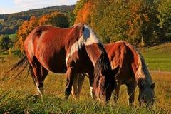Cavalli nel prato fotografie stock