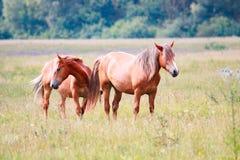 Cavalli nel prato Immagini Stock