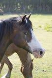Cavalli nel prato di estate Fotografie Stock