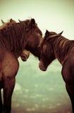 Cavalli nel selvaggio Fotografia Stock